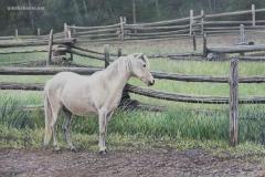 poney blanc 1 signature